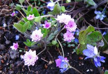 Печеночница благородная - f. rosea plena - цветы ярко-розовые (здесь не видно)