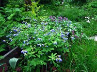 Синюха  Lambrook Mauve - Цветение в конце мая