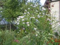Калимерис  - Цветение в сентябре