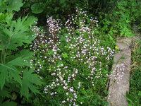 Камнеломка Арендса - Цветение