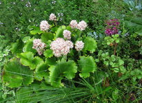 Камнеломка манчжурская - Начало августа - начало цветения