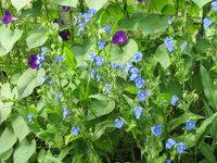 Коммелина клубненосная - Коммелина цветет все лето