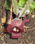 Копытень хвостатый - Цветок копытня
