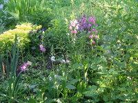 Коровяк гибридный - Цветет в конце мая