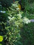 Лабазник вязолистный Variegata - Цветение в июле