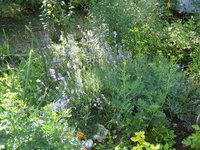 Лаванда узколистная - Цветение в июле