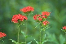 Лихнис халцедонский - Цветение в июле