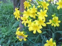 Лилейник - Лилейник желтый Нemerocallis flava. Цветет в конце мая, очень пахучий