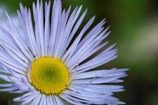 Мелколепестник красивый - Голубой цветок