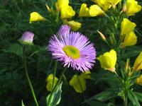 Мелколепестник красивый - Розовый цветок