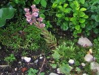 Молодило - Цветет в июле