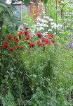 Монарда двойчатая - Цветение в июле