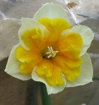 Нарцисс - Orangerie