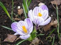 Крокусы весеннецветущие - Pickwick