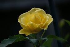 Розы Кордеса - Golden Gate