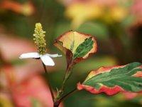 Хауттюйния сердцевидная - Цветок