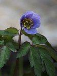 Анемона дубравная - Anemone nemorosa Robinsoniana