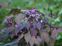 Горянка крупноцветковая Purple Pixie