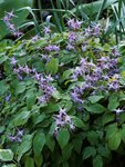 Горянка крупноцветковая Lilafee - середина мая