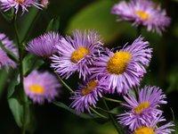 Мелколепестник красивый - сорт Rosa Juwel