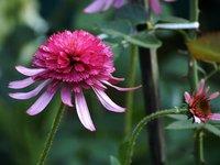 Эхинацея пурпурная - Southern Belle