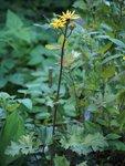 Бузульник гибридный Granito - цветение в конце августа