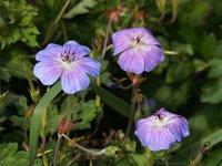 Герань гибридная Havana Blues - цветы