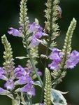 Физостегия виргинская - f. variegata