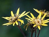 Бузульник гибридный Granito - цветы