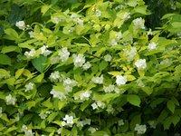 Чубушник венечный золотистый - Середина июня