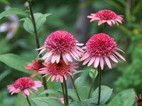 Эхинацея пурпурная - Raspberry Truffle
