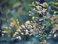 "Спирея Вангутта ""Gold Fountain"" - осенняя окраска листьев"