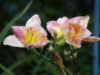 Лилейник - Cherry Tiger цветет до холодов