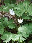 Сангвинария канадская - конец мая, конец цветения