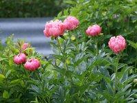Пионы травянистые - Pink Hawaiian Coral, запах так себе