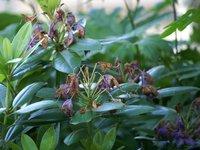 Рододендрои кэтевбинский Грандифлорум - конец июня