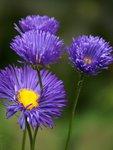 Мелколепестник красивый - жаль, что на снимке не передается сочный фиолетовый цвет
