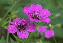 Герань гибридная Patricia - Цветок крупно