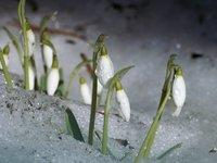 Подснежник  - апрель