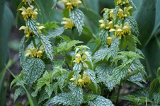 Зеленчук желтый Silberteppich - цветет в июне
