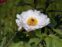 """Древовидные пионы - """"Янтарный свиток"""" - первое цветение."""