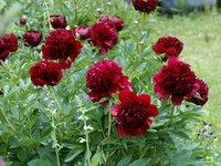 Пионы травянистые - Red Charm
