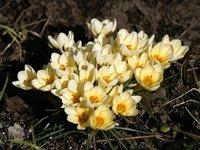 Крокусы весеннецветущие - Cream Beauty