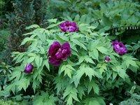 Древовидные пионы - Shimadaijin