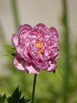 Пионы ИТО-гибриды - First Arrival, первый цветок