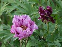 Пионы ИТО-гибриды - Morning Lilac