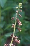 Толмия Менциза - Цветы крупно