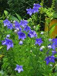 Платикодон крупноцветковый - Начало августа