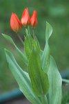 Тюльпаны ботанические - Многоцветковый Praestans Fusilier