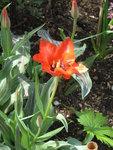Тюльпаны ботанические - Тюльпан Грейга Red Riding Hood
